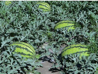 使用大量元素水溶肥西瓜增产
