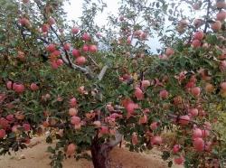 使用矿物肥后红富士苹果品质提升